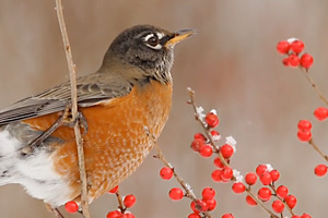 American Robin in a Winterberry Holly shrub