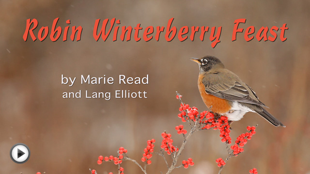 Photo of a robin in a Winterberry Holly shrub