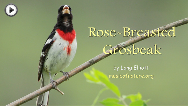 placeholder image for the Rose-breasted Grosbeak video clip