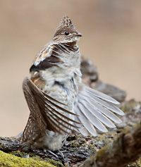 photo of Ruffed Grouse starting to drum