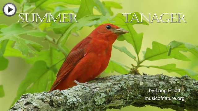 placeholder image for Summer Tanager clip