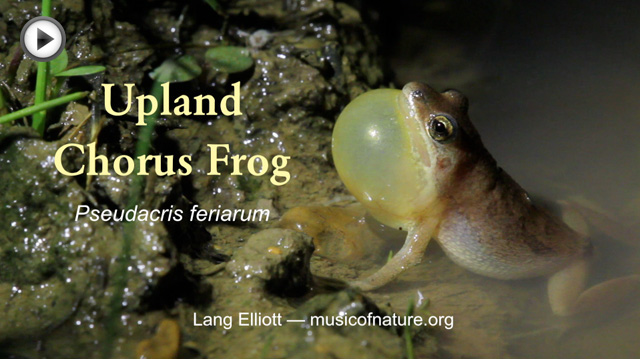 placeholder image for Upland Chorus Frog video