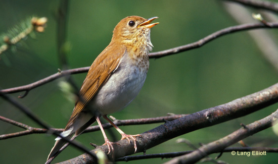 photo of a singing Veery