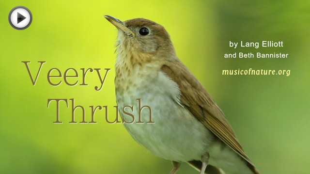 placeholder image for the Veery Thrush video clip