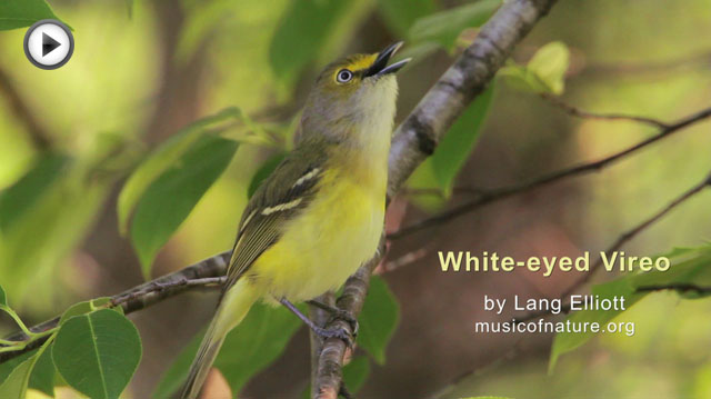 placeholder image for White-eyed Vireo clip