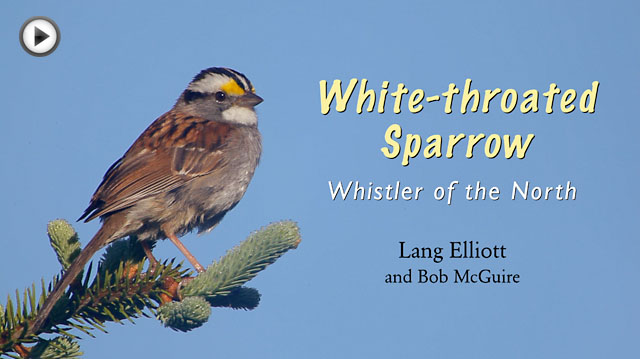 photo of a White-throated Sparrow