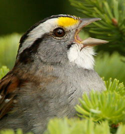 White-throated Sparrow, white-striped color morph