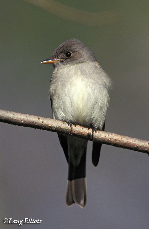 Photo of an Eastern wood pewee.