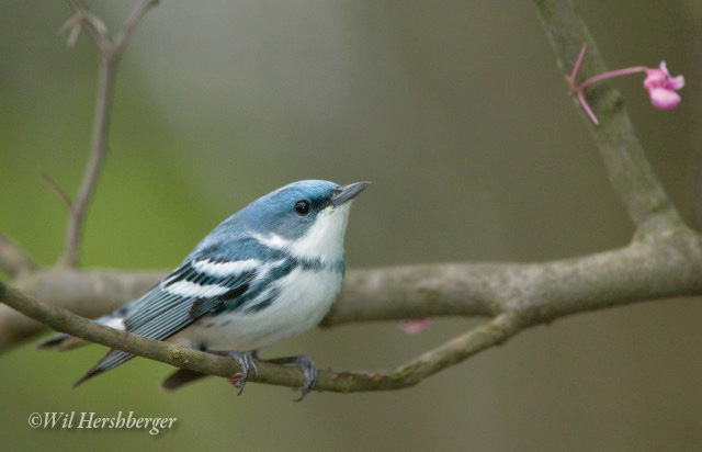 Photo of a Cerulean Warbler male in a red bud tree.