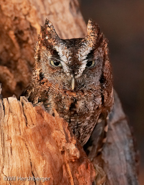 Photo of an Eastern Screech-owl.