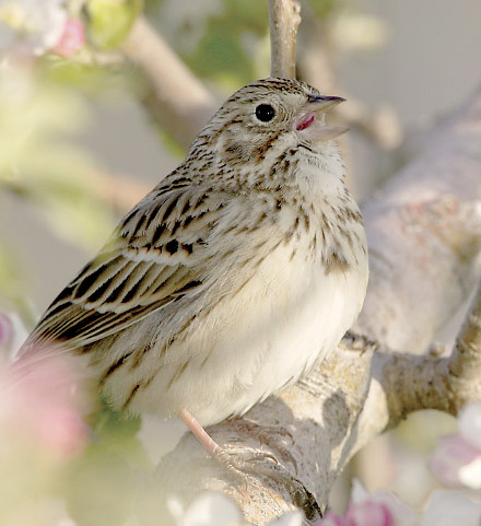 Vesper Sparrow male singing in an apple tree at sunrise